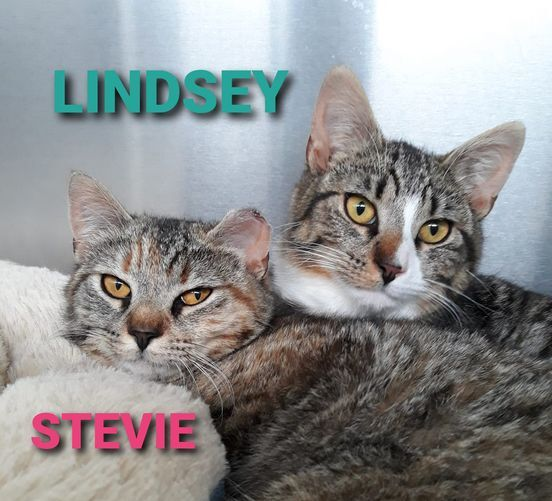 Lindsey, an adopted Domestic Short Hair in Wantagh, NY_image-2
