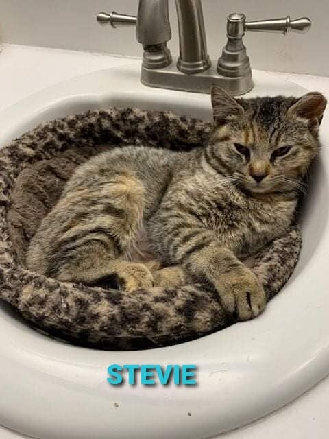 Stevie, an adopted Domestic Short Hair in Wantagh, NY_image-1