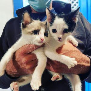 Ramen and Noodles Domestic Short Hair Cat