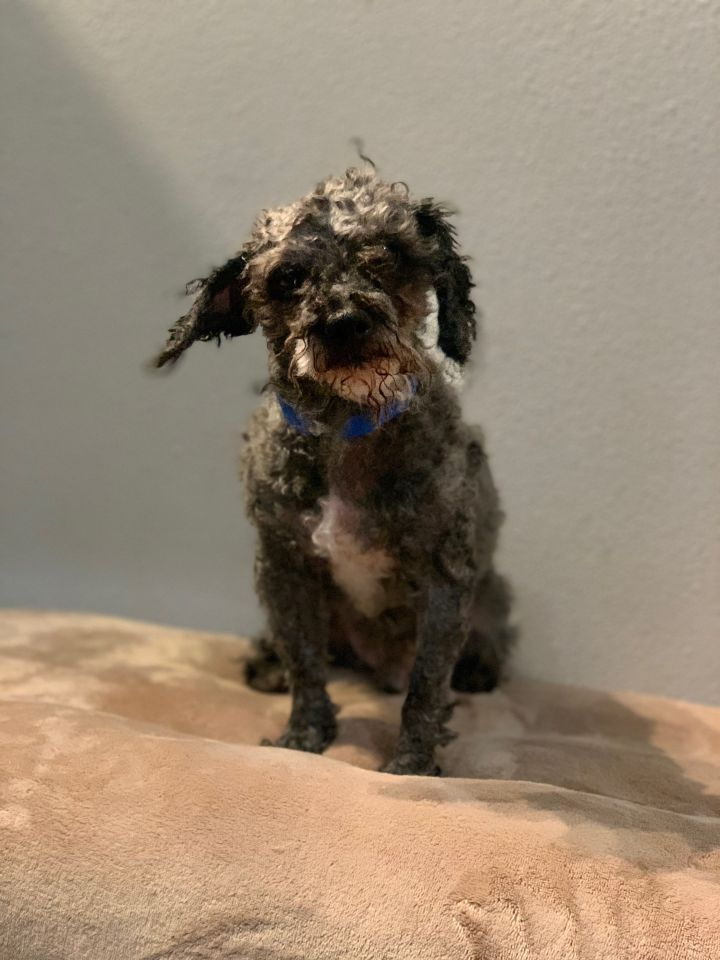 Norris, an adoptable Miniature Poodle Mix in Studio City, CA_image-2