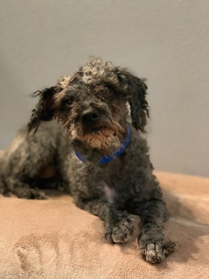 Norris, an adoptable Miniature Poodle Mix in Studio City, CA_image-3