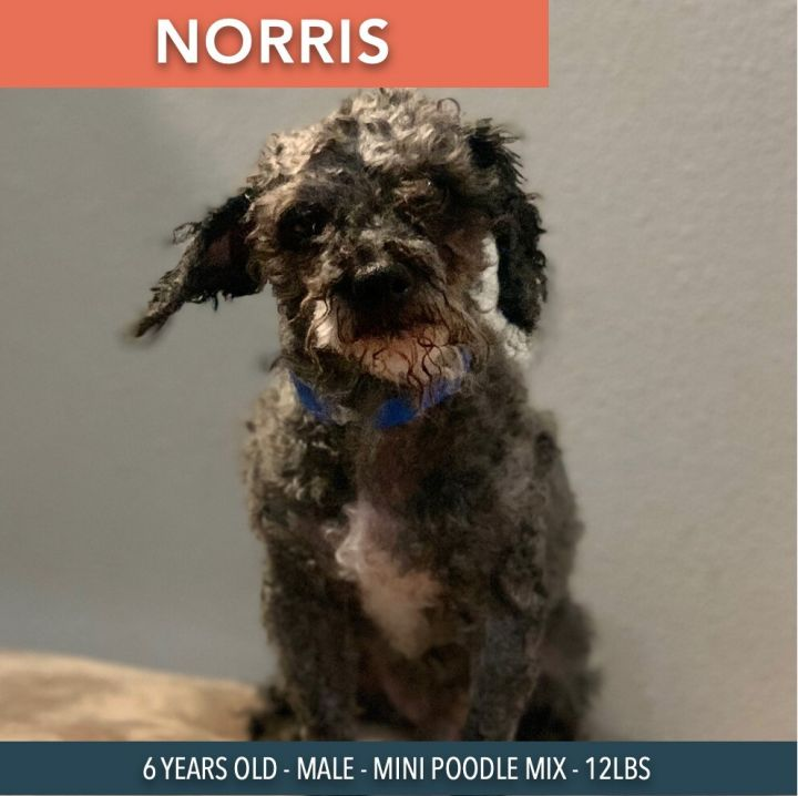 Norris, an adoptable Miniature Poodle Mix in Studio City, CA_image-4