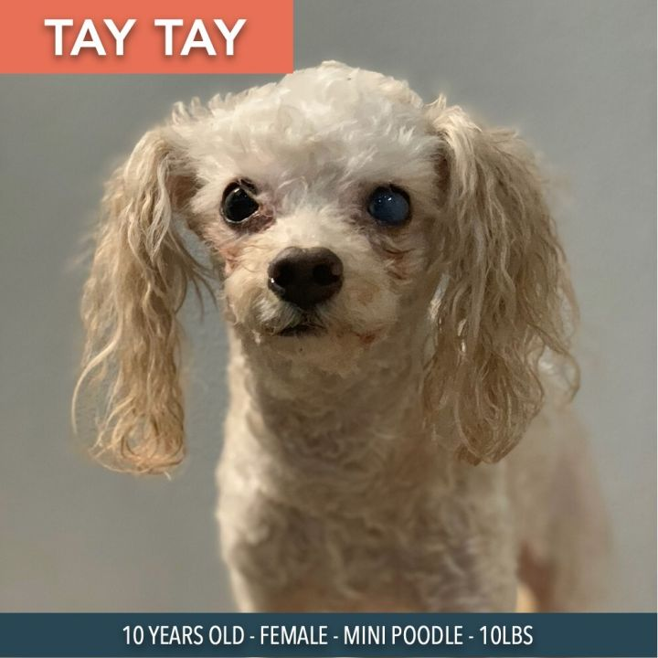 Tay Tay, an adoptable Miniature Poodle Mix in Studio City, CA_image-2