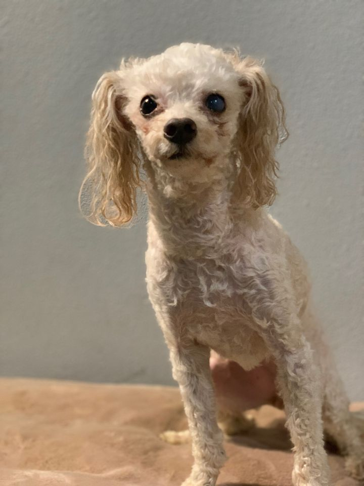 Tay Tay, an adoptable Miniature Poodle Mix in Studio City, CA_image-3