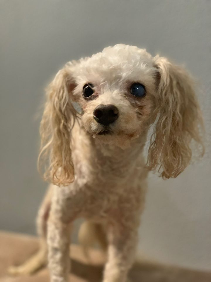 Tay Tay, an adoptable Miniature Poodle Mix in Studio City, CA_image-4