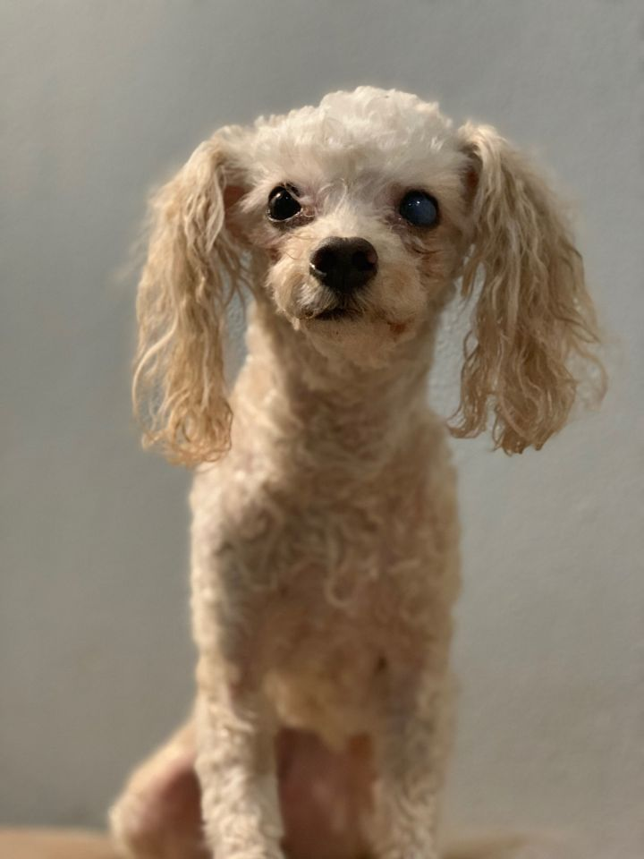 Tay Tay, an adoptable Miniature Poodle Mix in Studio City, CA_image-5