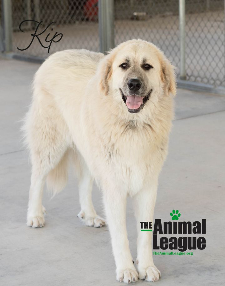 Kip, an adoptable Great Pyrenees & Anatolian Shepherd Mix in Clermont, FL_image-1