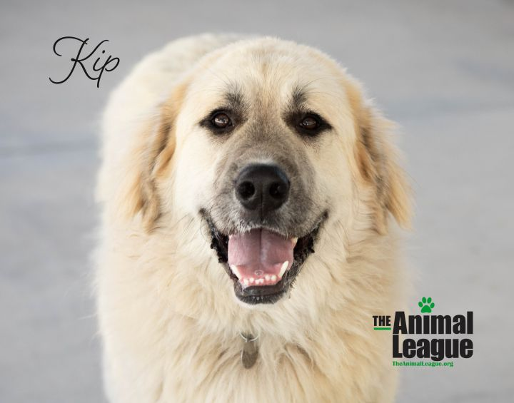 Kip, an adoptable Great Pyrenees & Anatolian Shepherd Mix in Clermont, FL_image-2