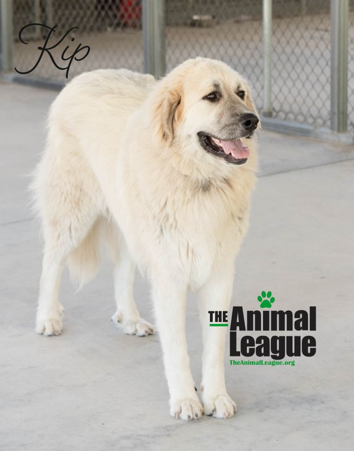 Kip, an adoptable Great Pyrenees & Anatolian Shepherd Mix in Clermont, FL_image-3