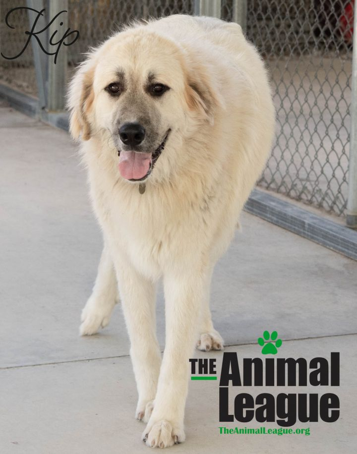 Kip, an adoptable Great Pyrenees & Anatolian Shepherd Mix in Clermont, FL_image-4
