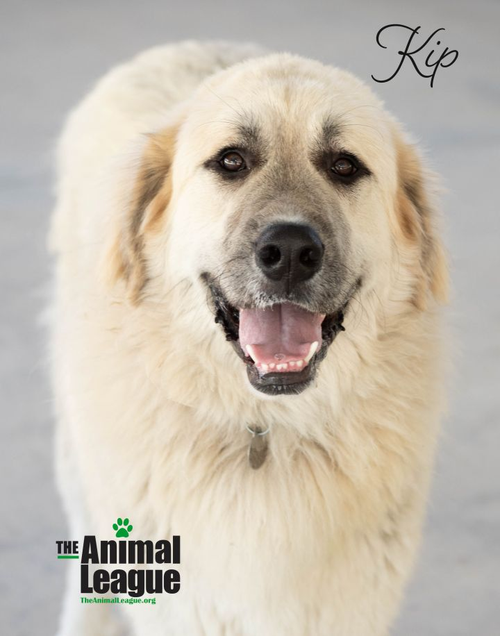 Kip, an adoptable Great Pyrenees & Anatolian Shepherd Mix in Clermont, FL_image-5