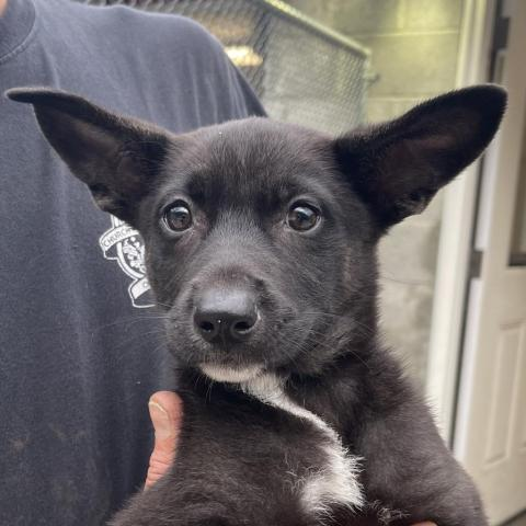 NY Fauna Avail May 11, an adoptable Husky & Shepherd Mix in Patterson, NY_image-2