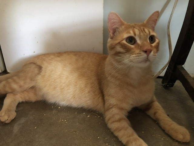 Garfield, an adoptable Tabby Mix in Mission Viejo, CA_image-1