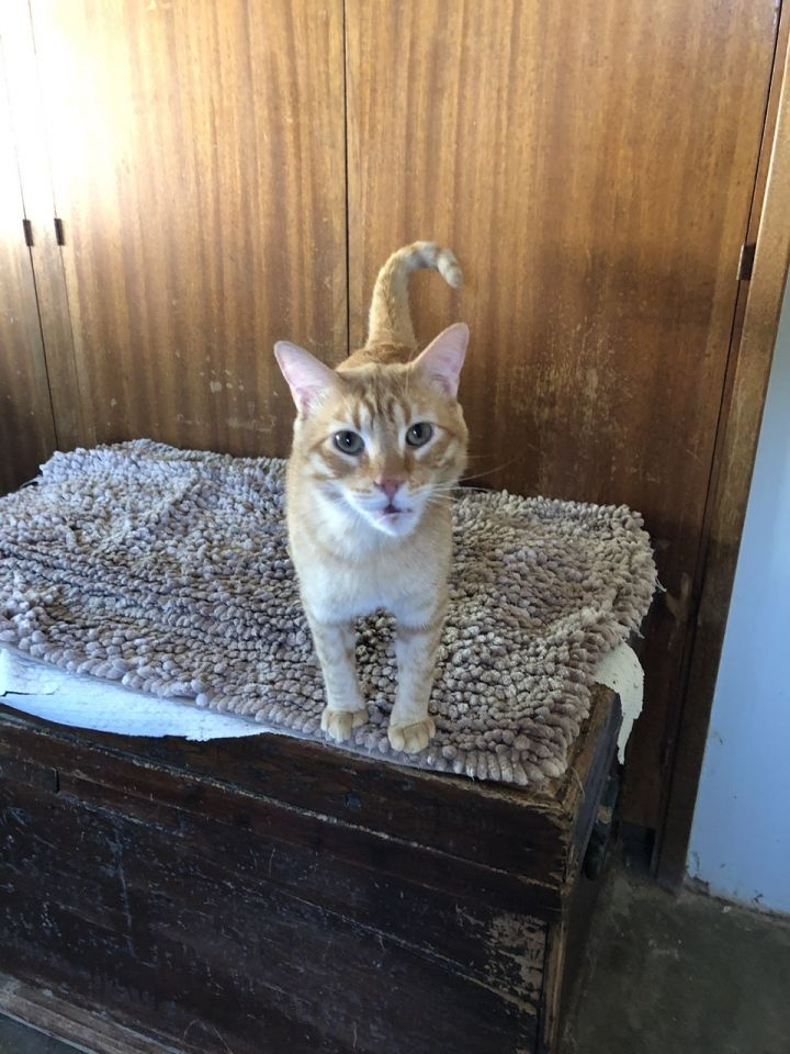 Garfield, an adoptable Tabby Mix in Mission Viejo, CA_image-3