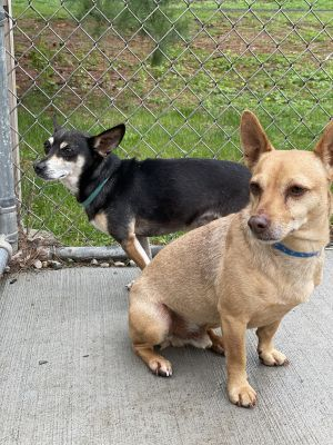 Petey  Gizmo are a bonded pair of senior Chihuahuas They were signed over when their owner could n