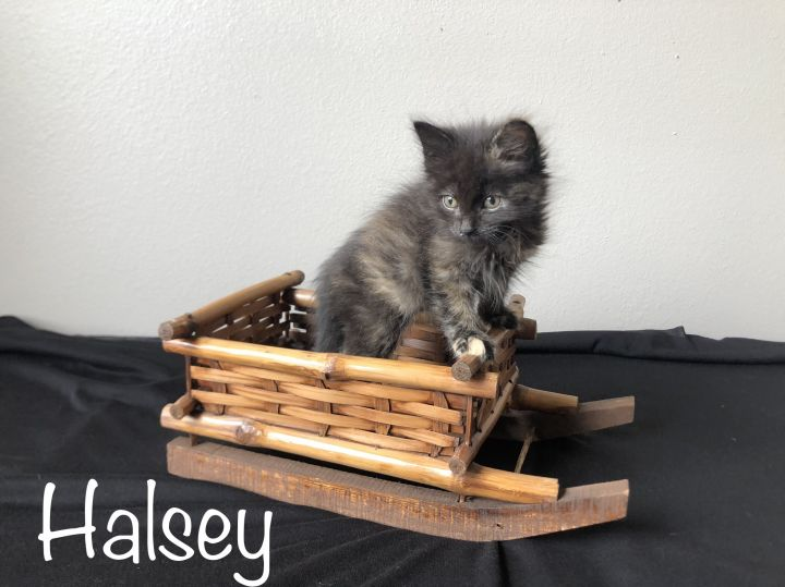 Halsey, an adopted Domestic Short Hair in Omaha, NE_image-1