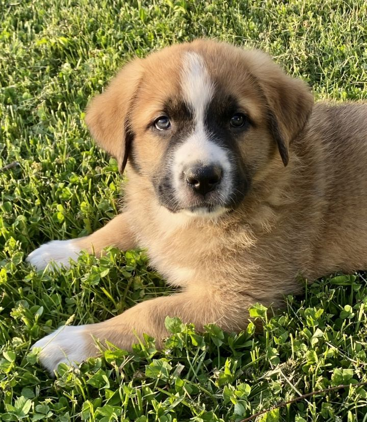 Mascarpone, an adoptable Saint Bernard & Anatolian Shepherd Mix in Thompson's Station, TN_image-2