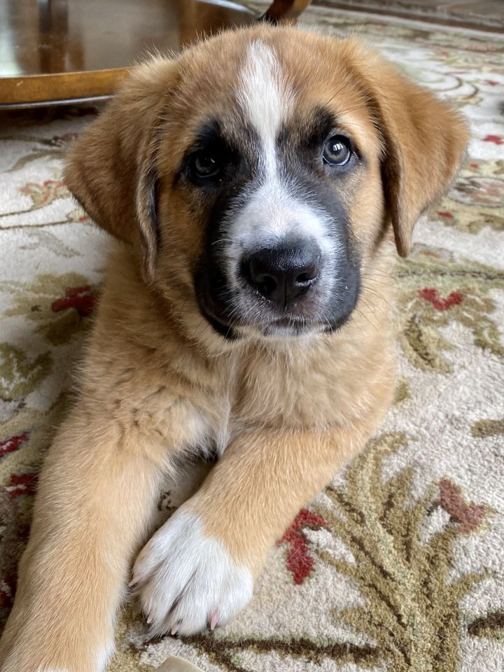 Mascarpone, an adoptable Saint Bernard & Anatolian Shepherd Mix in Thompson's Station, TN_image-4
