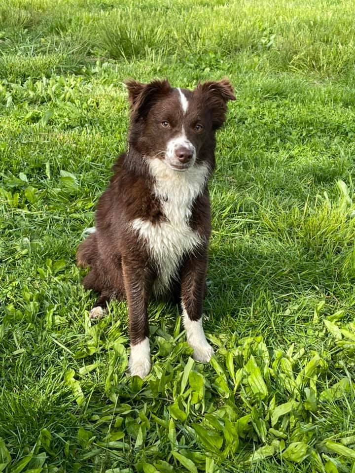 Kat, an adoptable Border Collie Mix in Chestertown, MD_image-1