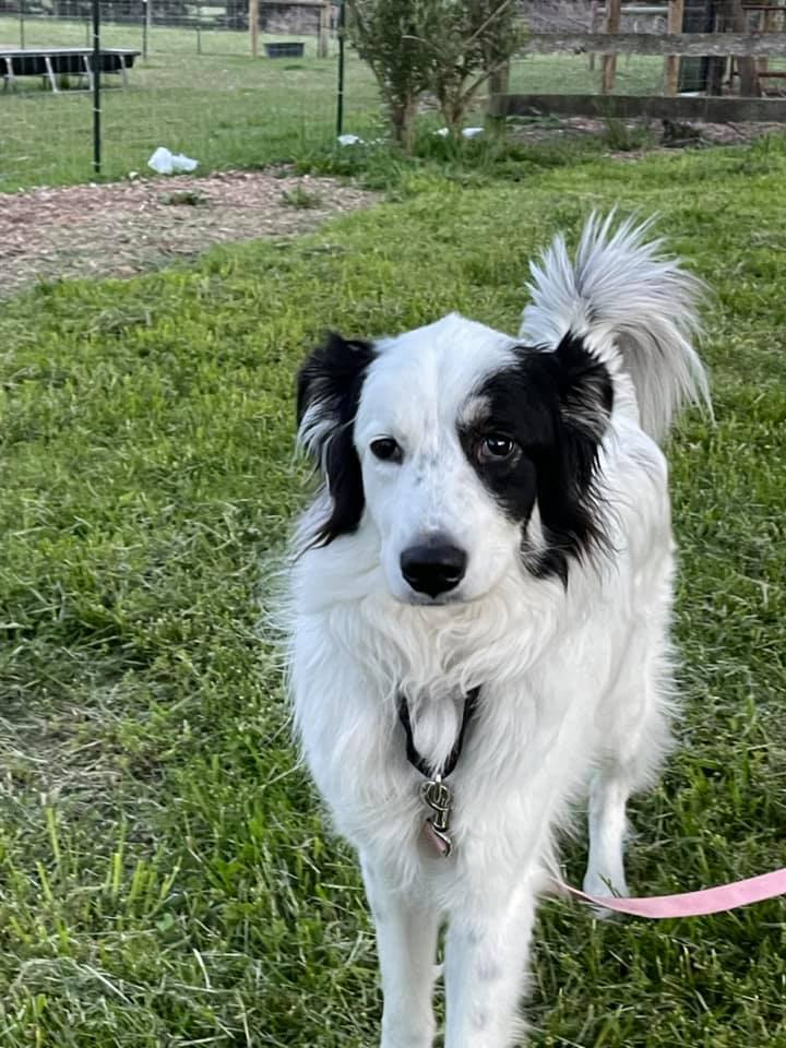 Andy, an adoptable Border Collie in Chestertown, MD_image-1