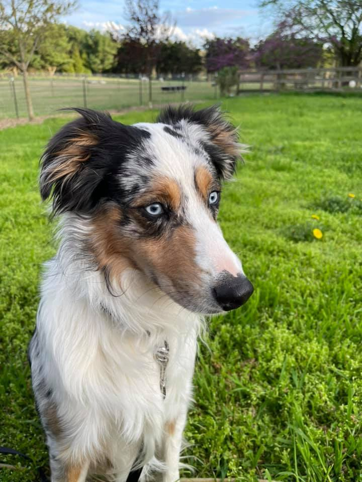 Jax, an adoptable Australian Shepherd in Chestertown, MD_image-1