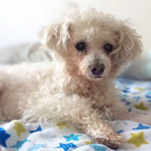 Noni Spumoni Miniature Poodle Dog
