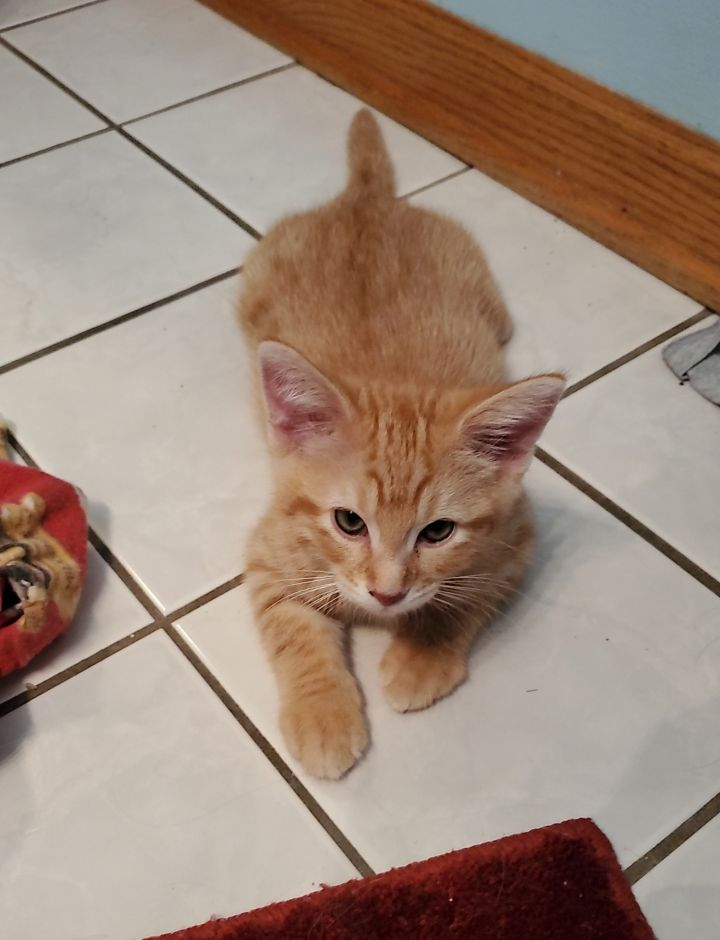 Carrot, an adoptable Domestic Short Hair in Naperville, IL_image-1
