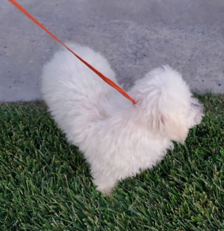 Elsa, an adopted Maltese & Maltipoo Mix in Riverside, CA_image-2