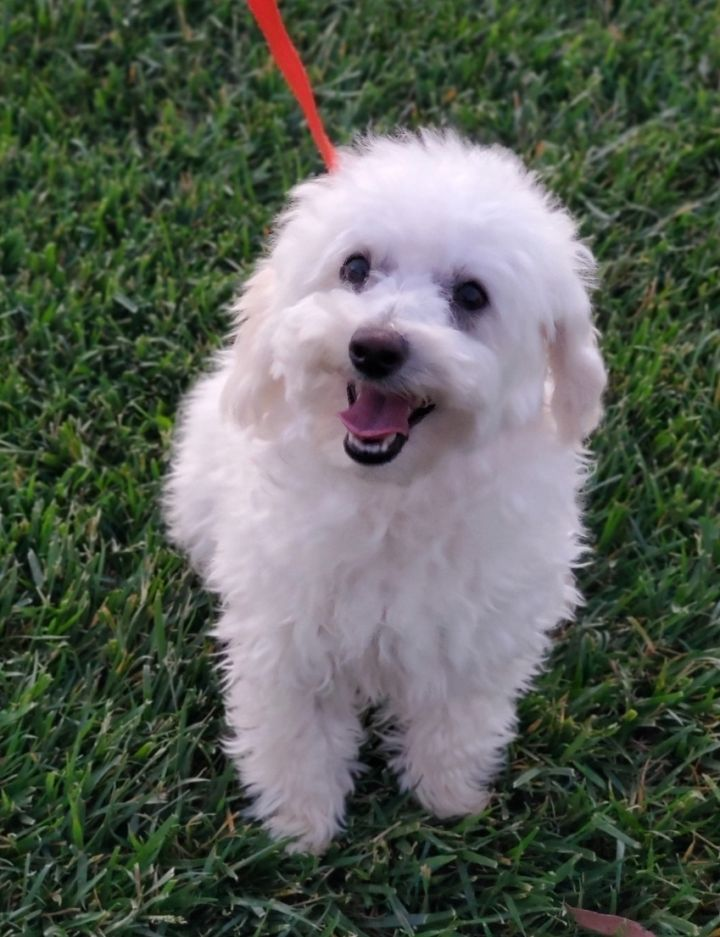 Elsa, an adopted Maltese & Maltipoo Mix in Riverside, CA_image-3