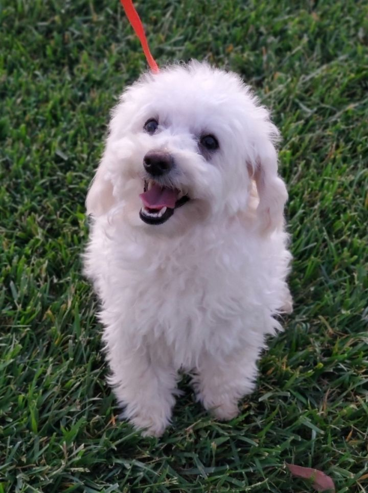 Elsa, an adopted Maltese & Maltipoo Mix in Riverside, CA_image-4
