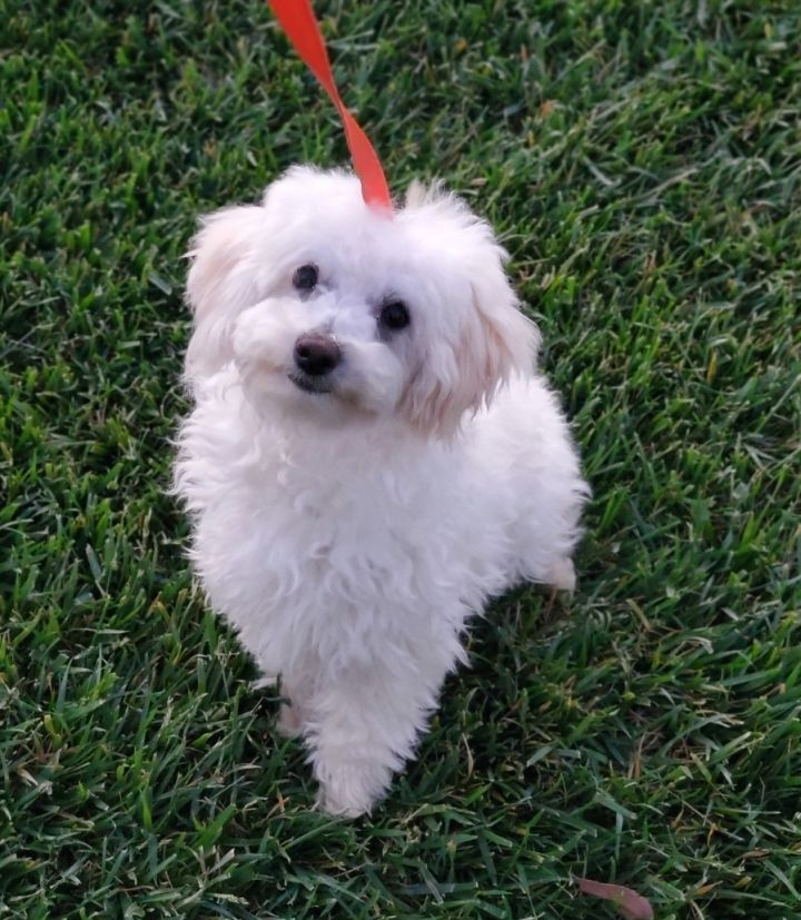 Elsa, an adopted Maltese & Maltipoo Mix in Riverside, CA_image-6