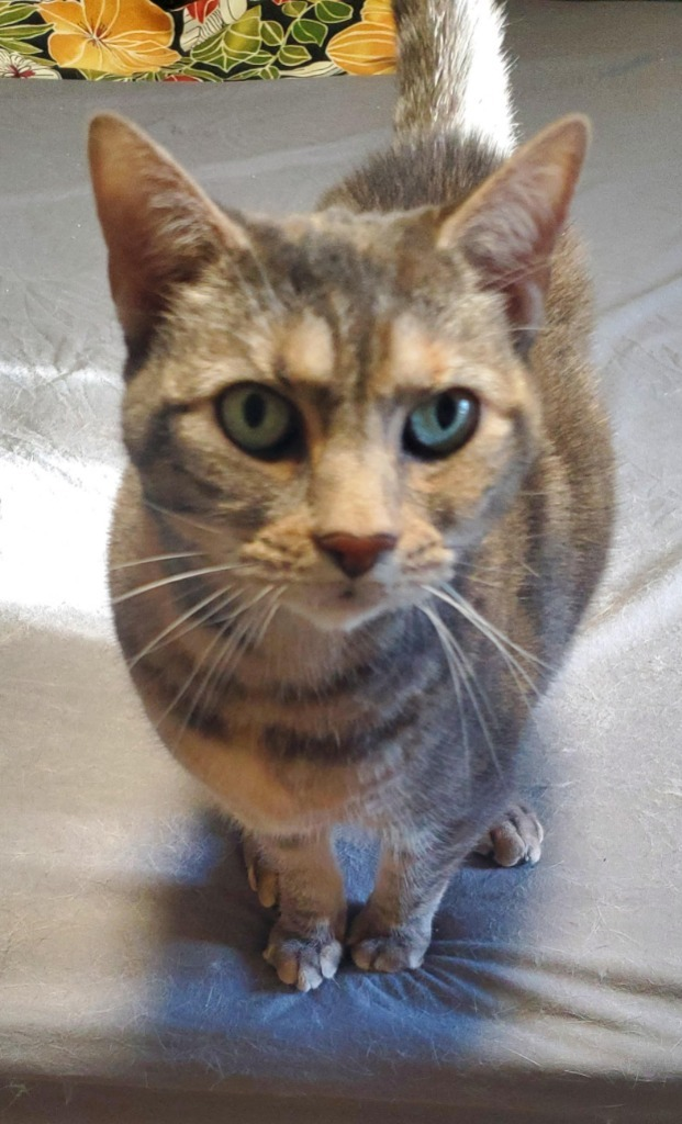 BooBoo, an adoptable Domestic Short Hair in Minot, ND_image-1