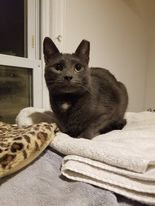 Lewis, an adoptable Domestic Short Hair in Huntington, NY_image-1