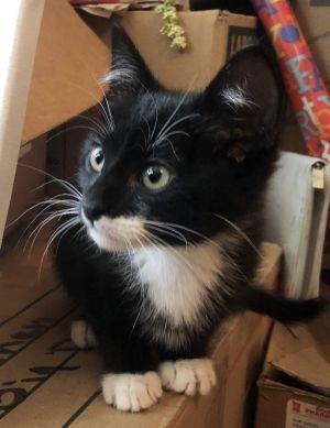 Kiki Domestic Short Hair Cat