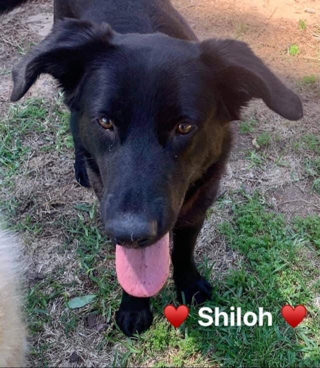 Shiloh 4
