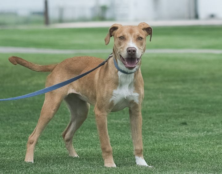 Heidi, an adoptable Labrador Retriever & Staffordshire Bull Terrier Mix in Uvalde, TX_image-2