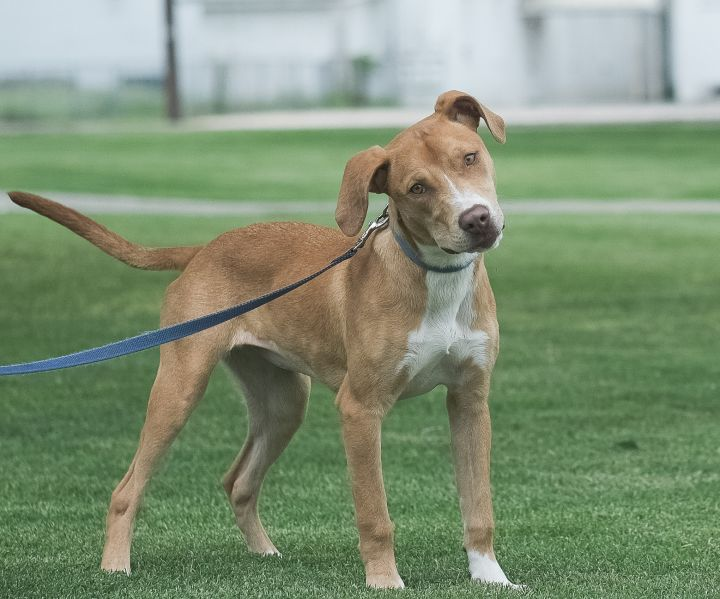 Heidi, an adoptable Labrador Retriever & Staffordshire Bull Terrier Mix in Uvalde, TX_image-1