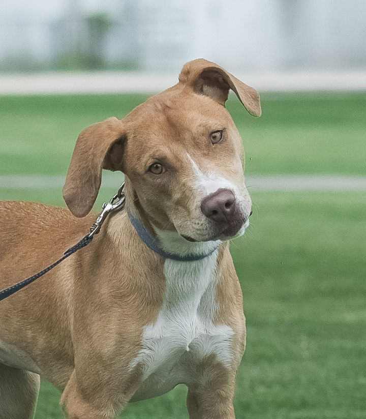 Heidi, an adoptable Labrador Retriever & Staffordshire Bull Terrier Mix in Uvalde, TX_image-3