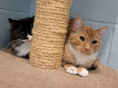 Pudding, an adoptable Domestic Long Hair Mix in Smithtown, NY_image-1