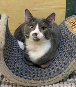Phoebe American Shorthair Cat