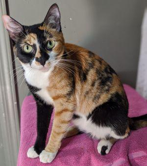 Sally American Shorthair Cat