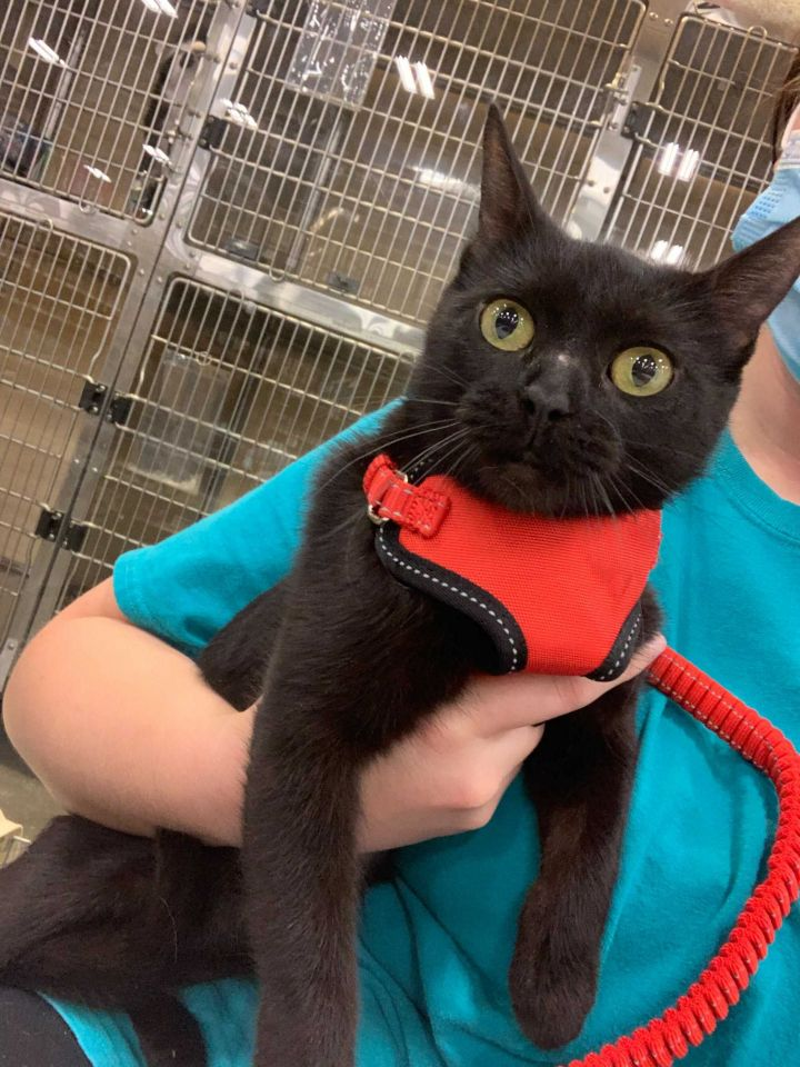 Jeep, an adopted Domestic Short Hair in Carencro, LA_image-3