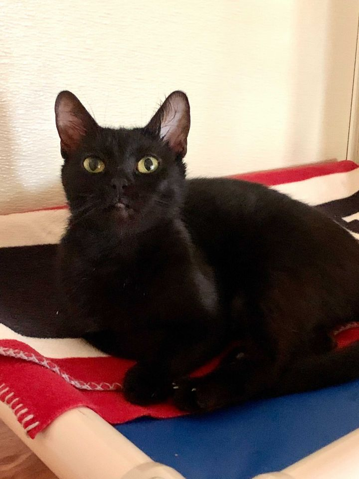 Jeep, an adopted Domestic Short Hair in Carencro, LA_image-6