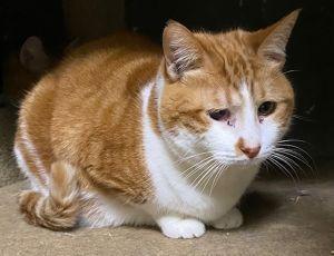 Orange Crush American Shorthair Cat