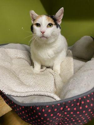 Mewsette American Shorthair Cat