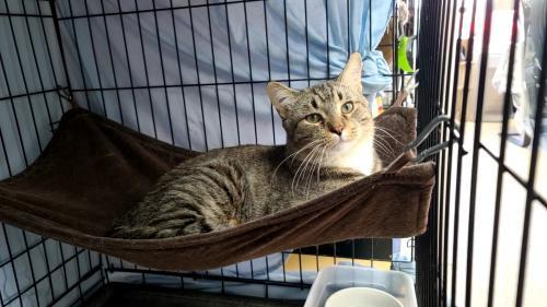 Bisquik, an adoptable Tabby & Domestic Short Hair Mix in Monroe, MI_image-1