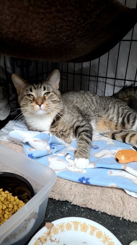 Bisquik, an adoptable Tabby & Domestic Short Hair Mix in Monroe, MI_image-2