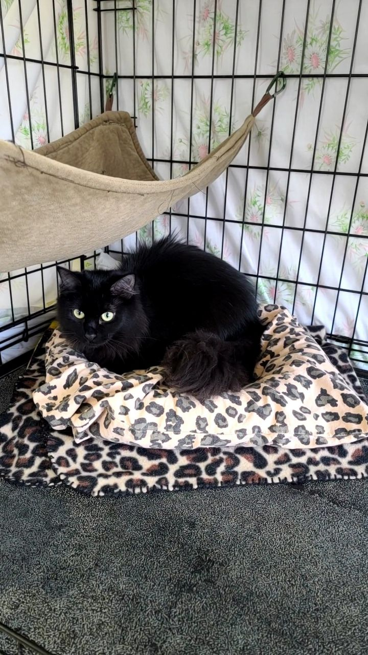 Natalie, an adoptable Domestic Long Hair in Monroe, MI_image-1