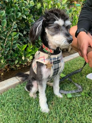 Pepper Terrier Dog