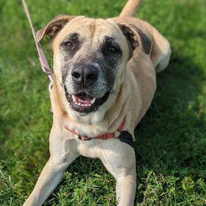 Bailey Mastiff Dog
